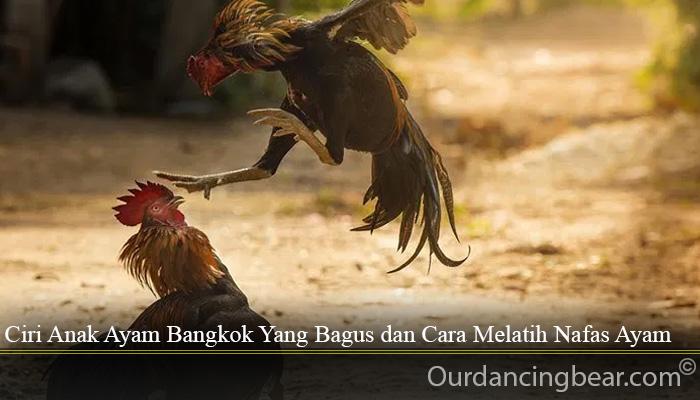 Ciri Anak Ayam Bangkok Yang Bagus dan Cara Melatih Nafas Ayam