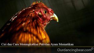 Ciri dan Cara Meningkatkan Pukulan Ayam Mematikan