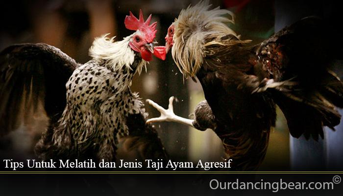 Tips Untuk Melatih dan Jenis Taji Ayam Agresif
